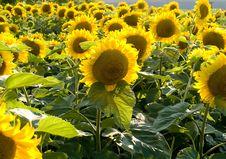 Free Sunflowers Royalty Free Stock Photo - 6058735