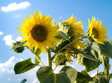 Free Sunflowers Royalty Free Stock Images - 6058739