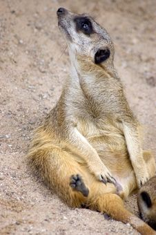 Free Meercat (suricate) Royalty Free Stock Photography - 6058807