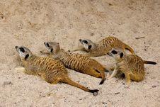 Free Meercats (suricate) Royalty Free Stock Photo - 6058855