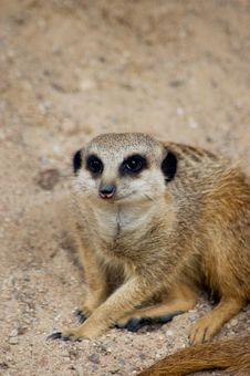 Free Meercat (suricate) Stock Images - 6058904