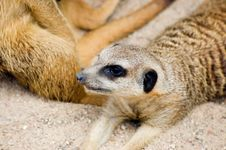Free Meercat (suricate) Stock Photo - 6058960