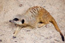 Free Meercat (suricate) Stock Image - 6058981