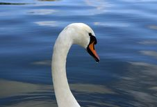 Free Swan1 - Droplet On Beak Royalty Free Stock Photography - 6059287