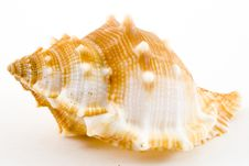 Free Conch Royalty Free Stock Images - 6059439