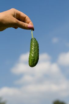 Free Sky Cucumber Royalty Free Stock Image - 6059596