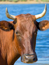 Free Cow Head Stock Photography - 6060042