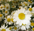 Free Camomile Royalty Free Stock Image - 6065006