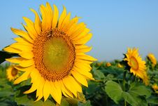 Free Sunflower Royalty Free Stock Photos - 6060518