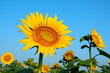 Free Sunflower Royalty Free Stock Image - 6060566