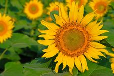 Free Sunflower Stock Photo - 6060580