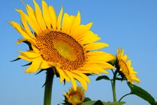 Free Sunflower Stock Images - 6060844