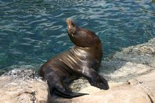 Seal On Waters Edge Royalty Free Stock Images