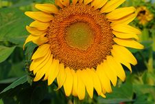 Free Sunflower Stock Photos - 6061013