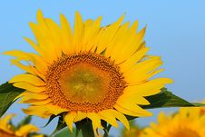Free Sunflower Royalty Free Stock Images - 6061049