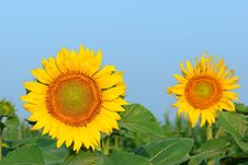 Free Sunflower Royalty Free Stock Images - 6061089
