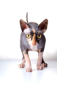 The Canadian Sphynx Royalty Free Stock Image