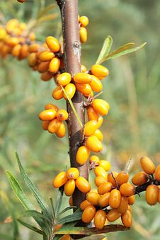 Free Sea-buckthorn Berries Royalty Free Stock Images - 6061809