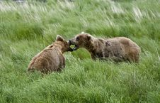 Two Brown Bears Squaring Off Stock Image