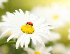 Free Ladybug Royalty Free Stock Photos - 6062028