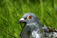 Pigeon In Nature Stock Photo