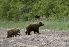 Free Brown Bear Sow And Cubs Royalty Free Stock Images - 6062299