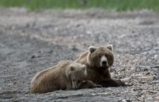Free Brown Bears Lying On The Beach Royalty Free Stock Photography - 6062317