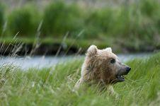 Brown Bear Chewing Grass Stock Photos