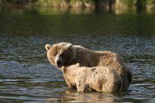 Free Brown Bear Sow Protecting Her Cub Stock Photography - 6062452