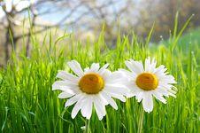 Free Two Daisies On Green Grass Stock Photos - 6064043