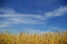 Free Wheat Field Royalty Free Stock Photo - 6064285