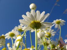 Free Camomile Stock Photos - 6064983