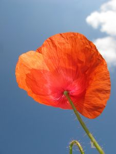 Free Red Poppy Royalty Free Stock Photo - 6065065