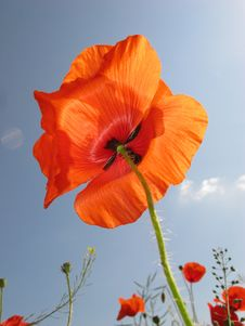 Free Red Poppy Royalty Free Stock Image - 6065086
