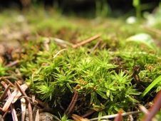 Moss & Pine Needles Macro Stock Photos