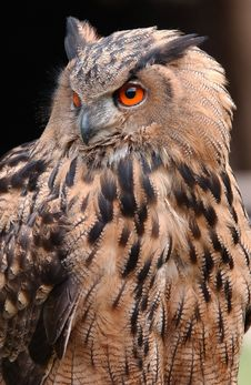 Free Eagle Owl Stock Photo - 6065420