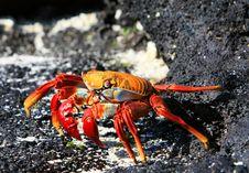 Free Sally Lightfoot Crab Royalty Free Stock Image - 6065426