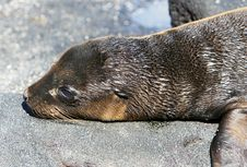 Young Sea Lion Stock Photography