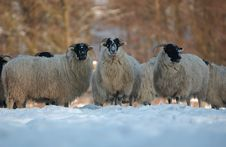 Free Sheep (SCOTTISH BLACK FACE) Royalty Free Stock Photos - 6065628