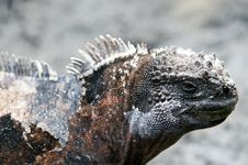 Free Close Up Marine Iguana Royalty Free Stock Photos - 6065638