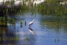 Free Spoonbill Crane Stock Image - 6066061