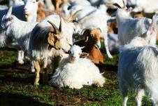 Free Sheep Royalty Free Stock Photo - 6066525