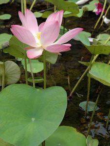 Free Lotus Stock Photo - 6066590
