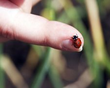 Free Ladybird Royalty Free Stock Photos - 6067268