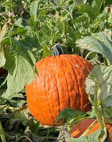 Great Pumpkin Stock Photography