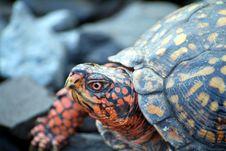 Free Terrapene Box Turtle Stock Photos - 6067353