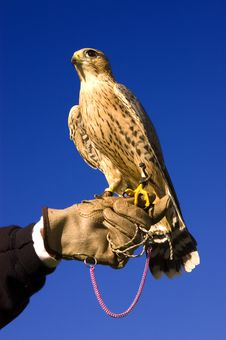Falcon And Handler Royalty Free Stock Photography