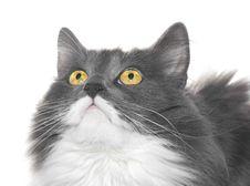 Free Grey Cat With Orange Eyes Stock Images - 6067774