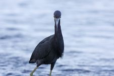 Free Little Blue Heron Stock Images - 6068244