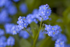 Free Forget Me Not Stock Photo - 6068290